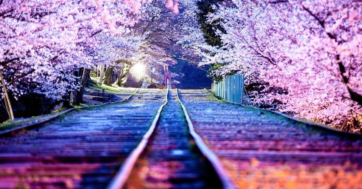 The Sakura Bloom!